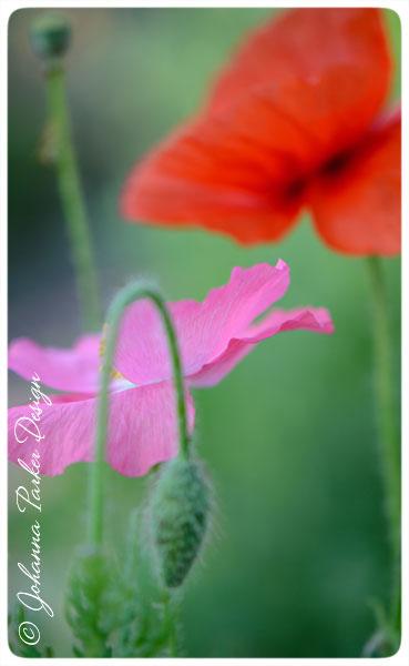 Pink-&-Red-Poppy