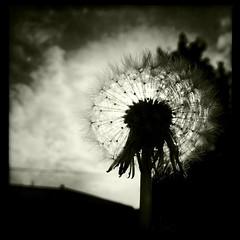 [フリー画像素材] 花・植物, タンポポ, 種子, モノクロ ID:201207250800