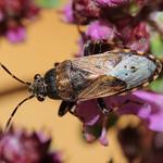 hangabodobács - Heterogaster affinis