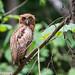 Philippine Eagle-owl (Bubo philippensis), near Manila, Philippines, 2012-06-03--166.jpg by maholyoak