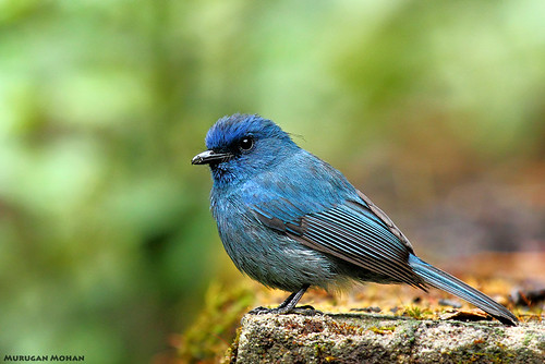 Nilgiri Flycatcher Male by muruganmohan