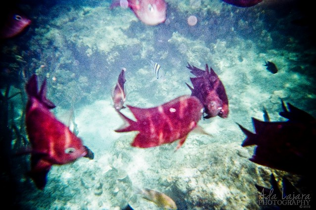 Fish feeding - Pambato Reef, Puerto Princesa