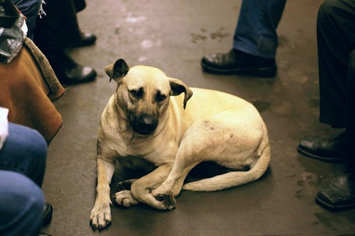homeless dog on the Moscow Metro (by: Adam Baker, creative commons)