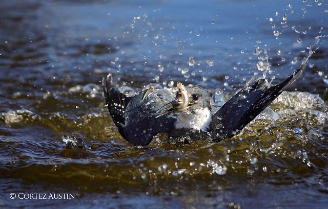Belted Kingfisher Breaking the Surface with Catch