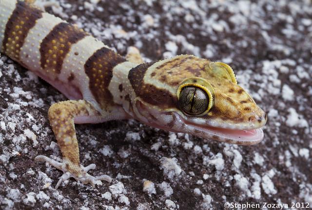 Coastal Ring Tailed Gecko