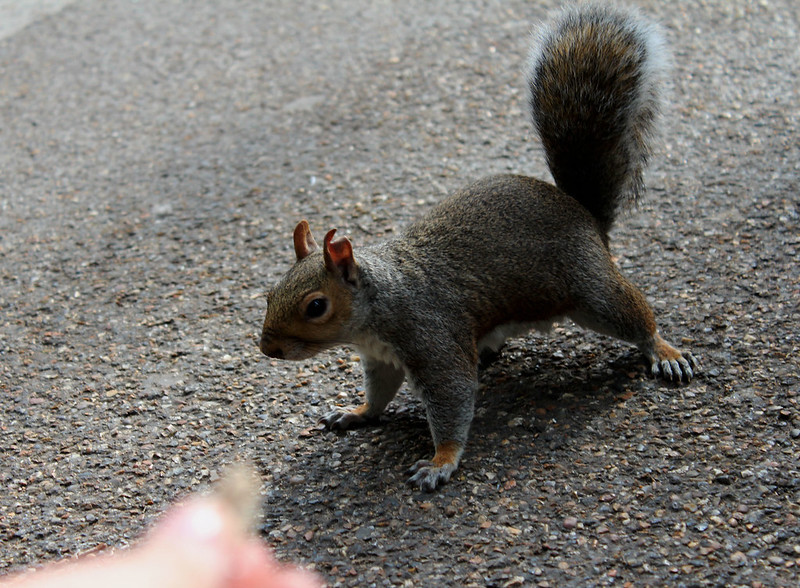 squirrel in st james park