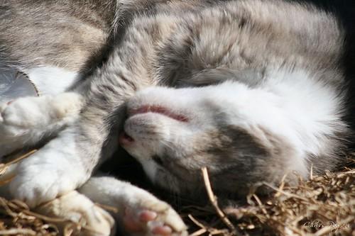 Sleeping Gray Tabby Tux Cat