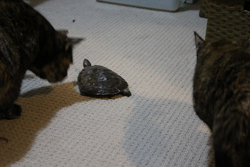 Licorice, Saffron meet Mister Turtle