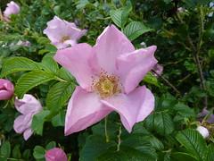 blossom(0.0), garden roses(0.0), flower(1.0), rosa gallica(1.0), plant(1.0), rosa rubiginosa(1.0), rosa canina(1.0), flora(1.0), rosa acicularis(1.0), rosa rugosa(1.0), petal(1.0),