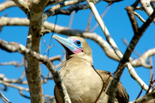 red-footed booby in the galapagos