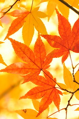 [Free Images] Flowers / Plants, Leaves, Maple, Autumn Leaf Color ID:201211111200