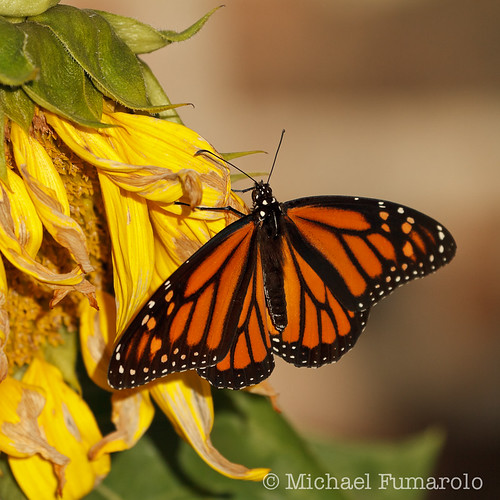 October Monarch & Sunflower - 01