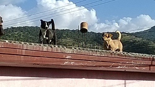 rural roof dogs