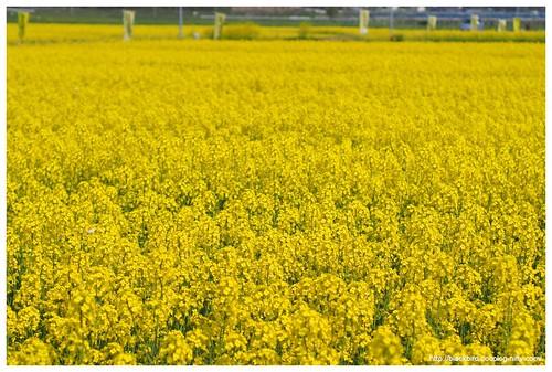 Field mustard $01
