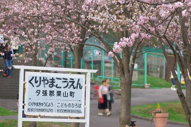 20160503栗山公園桜_08