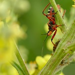 gyilkospoloska - Rhynocoris iracundus