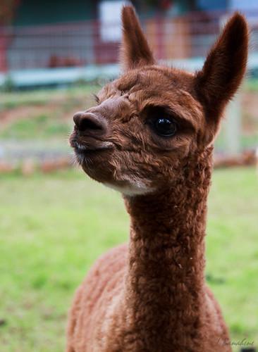 (Baby Alpaca (redone)