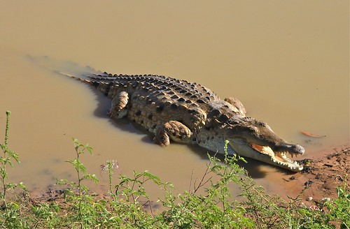 Orinoco crocodile (Crocodylus intermedius)