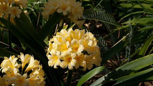 Kaffir lily (yellow form)