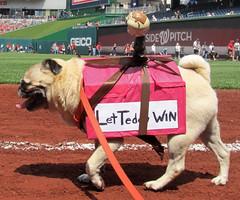 Cachucha the pug of Adams Morgan at the Nationals Park Pups in the Park Day photo by Johanna Diaz