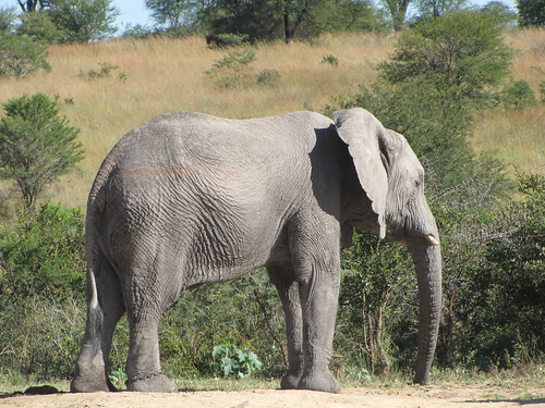 African Elephant by CharlesRay2010
