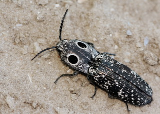 Eyed Click Beetle (Alaus oculatus)