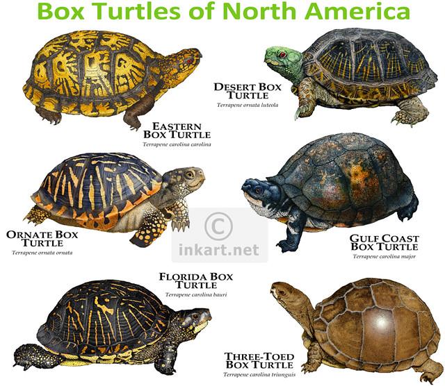 Box Turtles of North America Flickr - Photo Sharing!