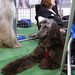 Afghan Hound at Discover Dogs by Scott Cawley