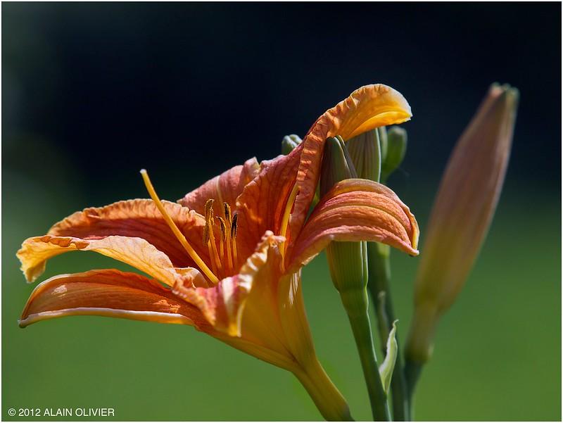 Iris^H^H^H^HLis de mon potager - Page 2 7420400560_cb279772fc_c