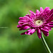 Daisy (Gerbera) by _MaK_