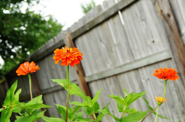 more orange zinnias