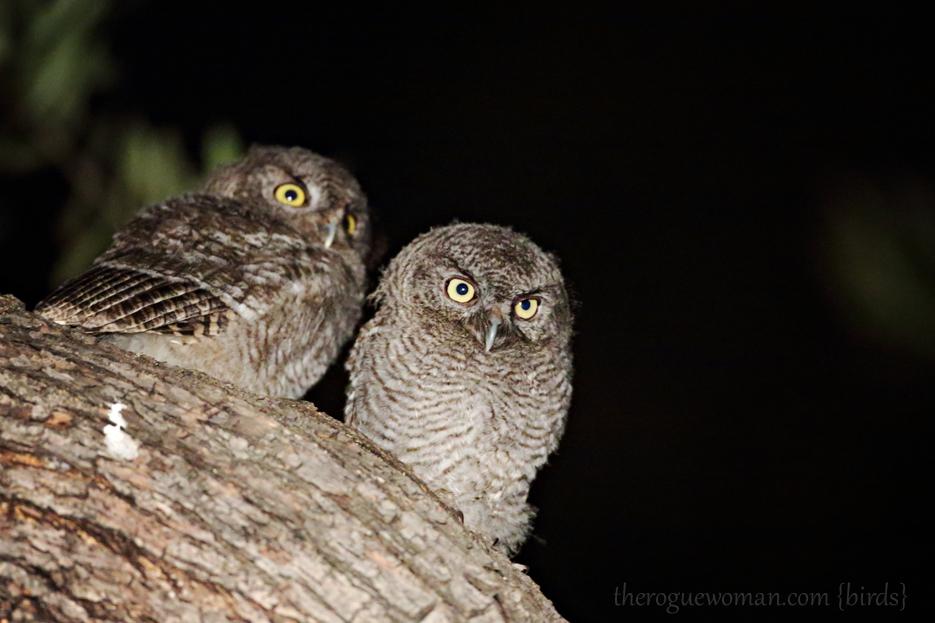 Western screech owl babies western screech owl babies the next