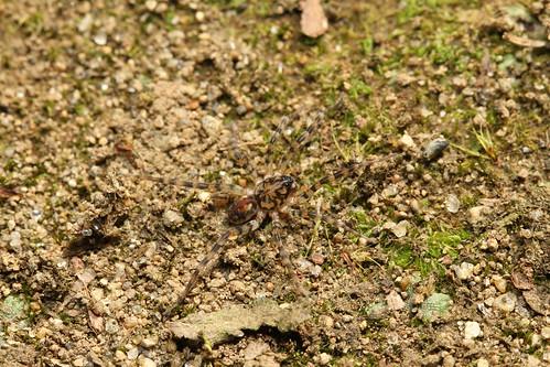カガリビコモリグモ