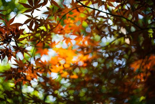 無料写真素材, 花・植物, カエデ・モミジ