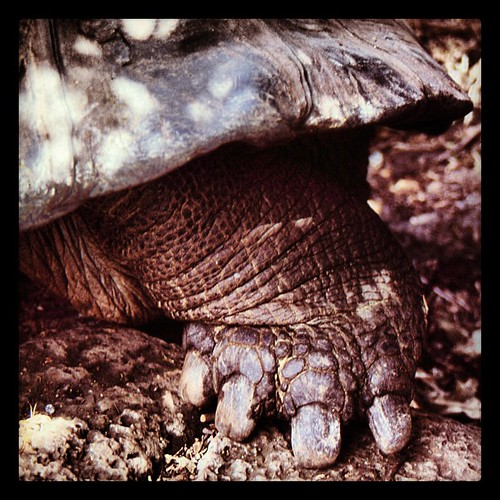 Could do with a pedicure. #Galapagos Tortoise.