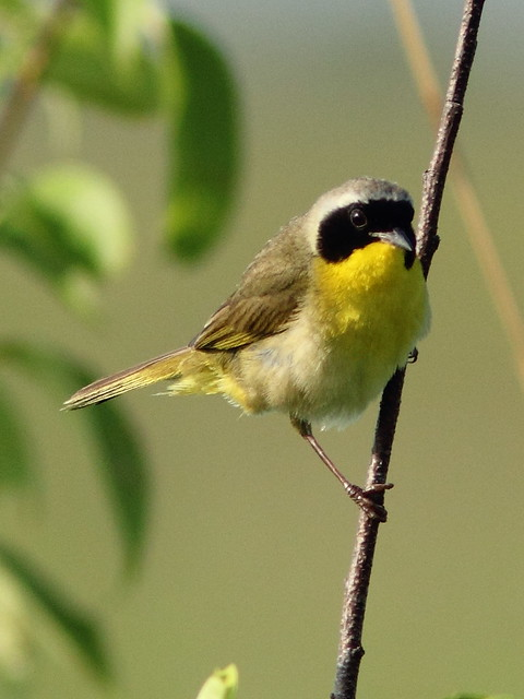 Common Yellowthroat 2-20120705