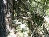 Le vieux sentier en RD en aval de la brèche du Carciara : le chemin sous le canyon en RD (flèche en peinture orange fluo sur un pin)