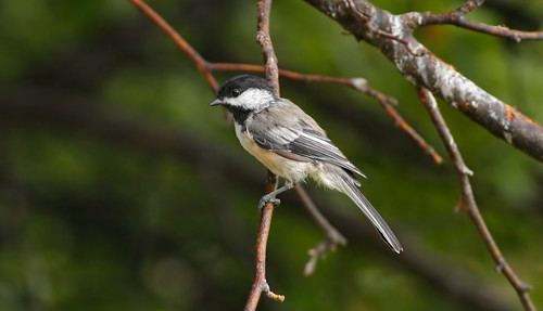wild tree bird nature animal closeup fauna bill michigan wildlife ngc beak feather chickadee perch ornithology birdwatching blackcappedchickadee avian poecileatricapillus