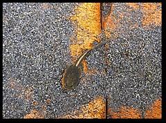 營建署雪管處提供: 梭德氏赤蛙蝌蚪