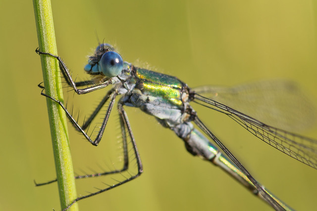 scarce emerald damselfly close up