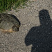 Snapping Turtle_2616.jpg
