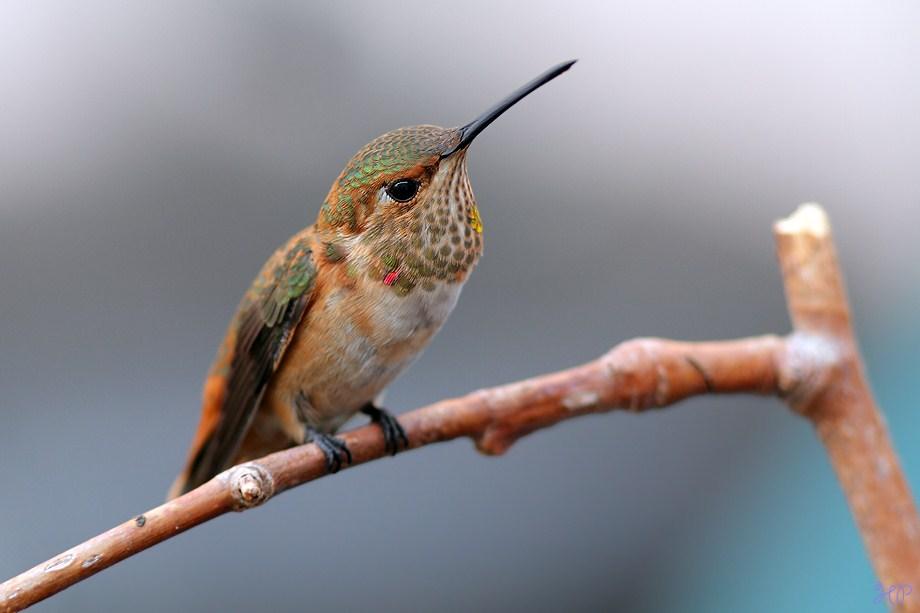 immature male Allen's Hummingbird 040812