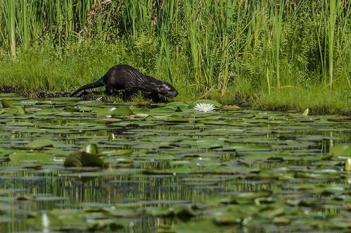 River Otter_4181.jpg