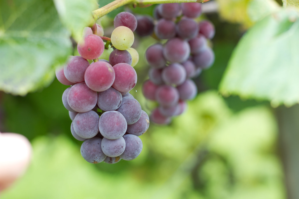 Boxelder Farm - Table Grapes