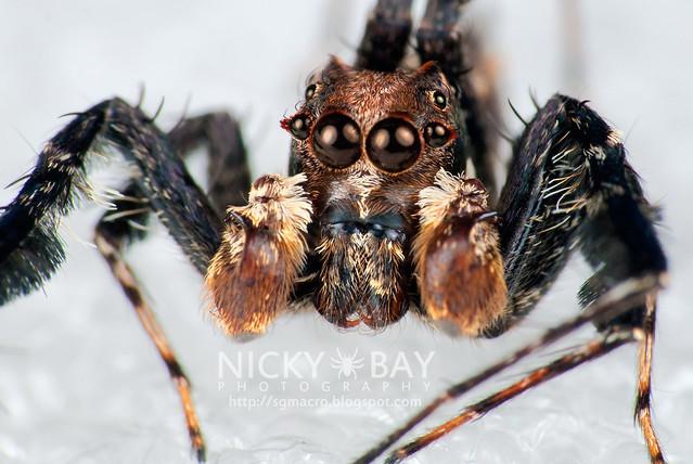 Jumping Spider (Portia sp.) - DSC_5838