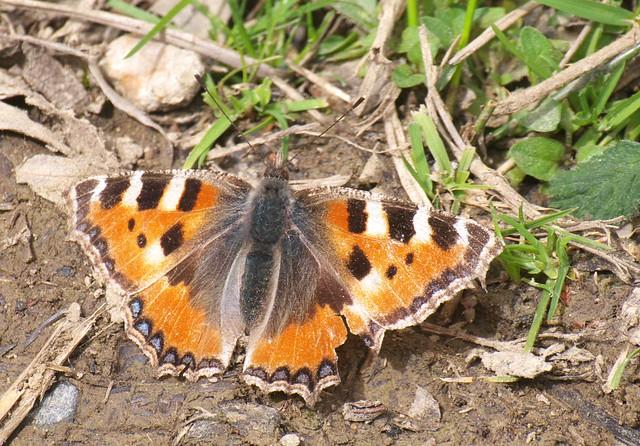 DSC_8212 small tortoiseshell butterfly