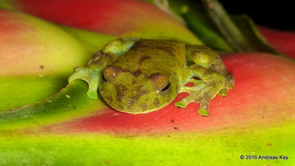 Palmar Treefrog, Hypsiboas pellucens on Heliconia