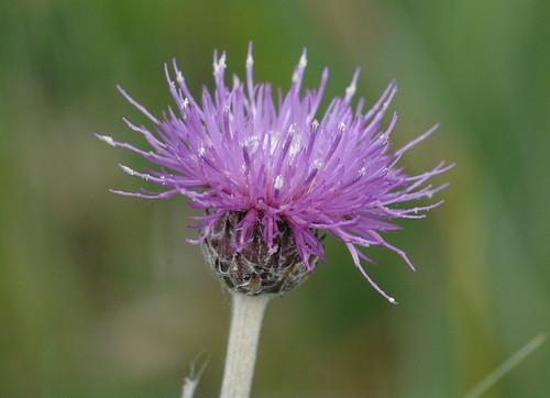 Common Knapweed