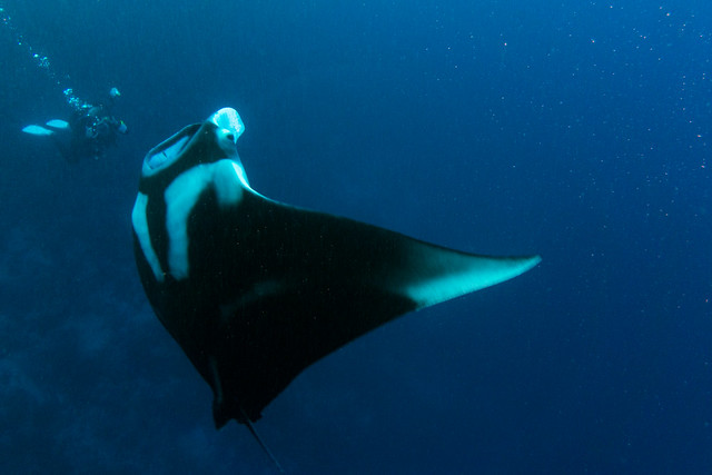 Manta Ray (Explored), Manta birostris, Daedalus Reef, Red Sea