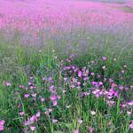 Texas Wildflowers_2016_Flowers